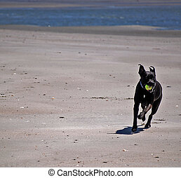 Fetch - Dog running with tennis ball, Sullivans Island, SC