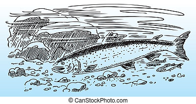 Salmon in the wild, river bottom. Vector illustration.