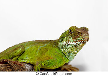 Agama - Head and face of an adult agama Physignathus...