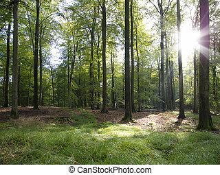 sunbeams in a beautiful beech forest in early autumn