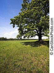 oak in the field