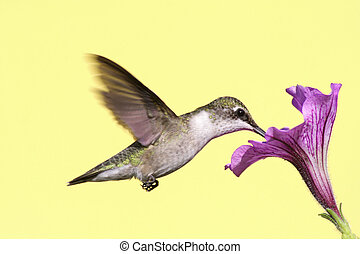 Ruby-throated Hummingbird - Hummingbird (archilochus...