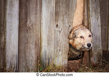 Angry dog look at outside - Dog peeking through old wood...