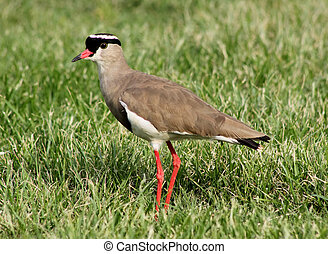Crowned Plover Lapwing Bird Focussed - Bright Eyed Crowned...