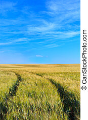 Wheat field tracks with a clear sky in spring - A wheat...