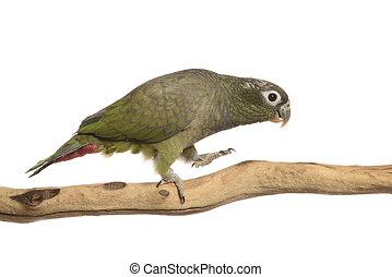 Maximillian Pionus parrot isolated on white
