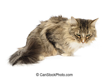 Long Haired Domestic, Maine Coon Cat, Felis Catus, Isolated...
