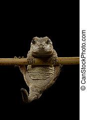 Gargoyle Gecko, Rhacodactylus auriculatus, Isolated on Black