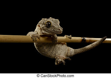 Gargoyle Gecko, Rhacodactylus auriculatus, Isolated on Black...