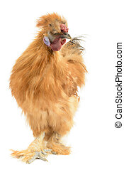 Silkie Rooster, Gallus Domesticius, isolated on White...