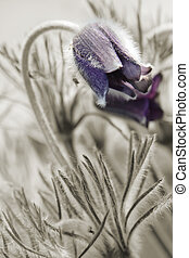 couple flowers pulsatilla pratensis on the spring meadow -...