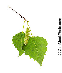 green leaves of birch tree