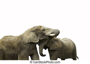 couple elephant on a white background