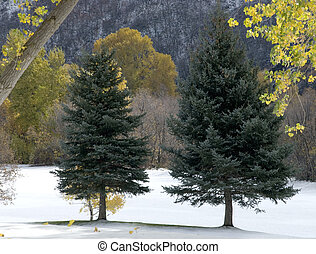 Twin Pines - Two Pine trees in Hobble Creek Canyon, Utah...