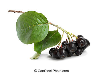 Black chokeberry on a white background