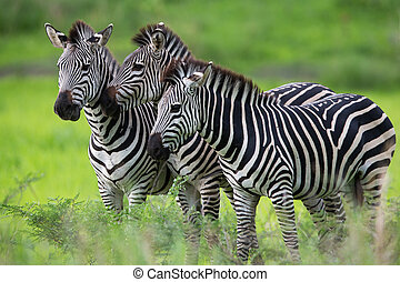Zebras - A high resolution image of wild zebras on safari in...