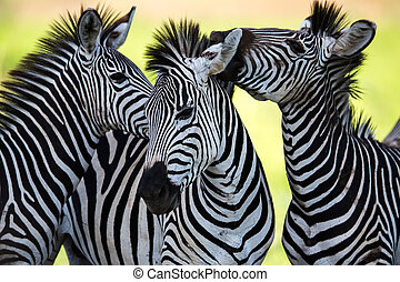 Zebras socialising and kissing - A high resolution image of...
