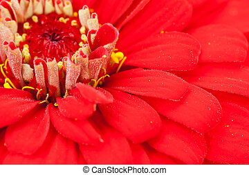 Zinnia - Detailed photo of a zinnia elegance flower
