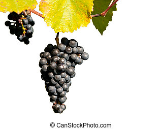Bunch ov grapes - Bunch of ripe grapes and leaves isolated...
