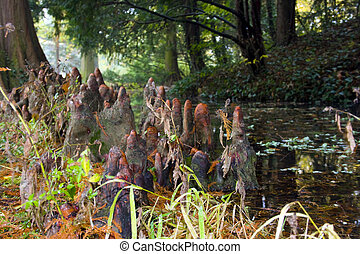 Bald cypress knees - Knees of a bald cypress Taxodium...