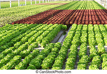 Hothouse - Industrial hothouse with lettuce sorts