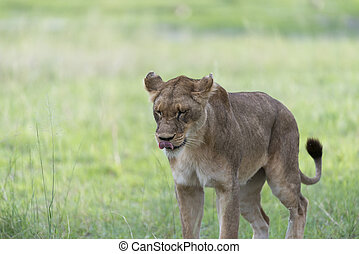 A lioness in the afternoon2 - A lioness in the afternoon,...