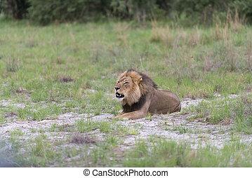 A male lion roaring