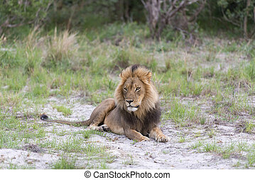 A male Lion at the end of the day - A male Lion in the late...