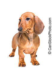 red dachshund puppy on isolated white - puppy of a red...