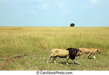 Lion Couple Panthera Leo Walking across the Savannah, Maasai...