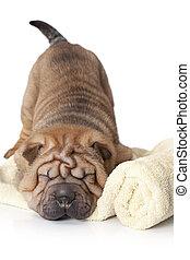 Sleeping Sharpei Puppy - Chinese sharpei puppy sleeping...