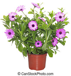 Pot with violet african daisy (Dimorphoteca, Osteospermum)...