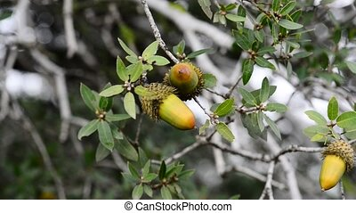 Two acorns - The Israeli Common Oak - Quercus calliprinos...