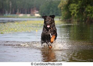 Feliz, Suíço, montanha, cão,...