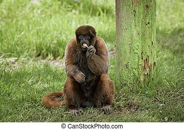 wooly monkey eating a sucker - wooly monkey enjoying eating...