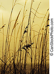 Sea Oats - Sea oats at sunrise...