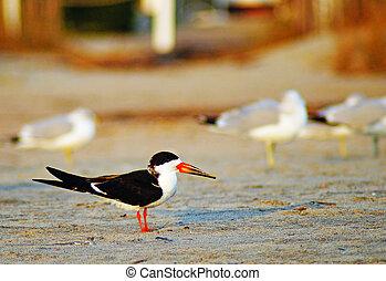 Caspian Tern - Caspian Tern...