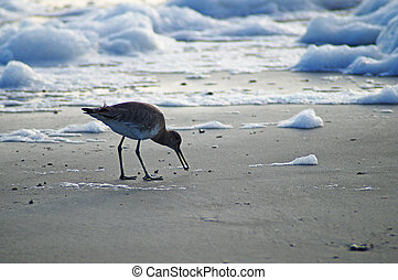 Curlew Sandpiper on the beach at dusk eating