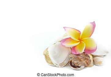 Plumeria flowers and sea shells isolated on white - Plumeria...