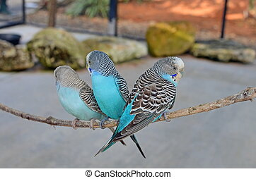Birds of a Feather - Three blue budgerigars resting on a...