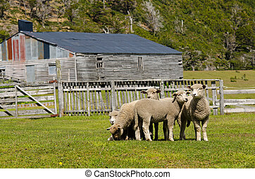 Sheep in a Estanzia at the Last Hope Sound, Patagonia, Chile