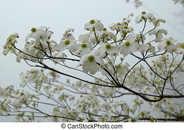 Dogwood tree blooms - Found here in the Southern States, USA