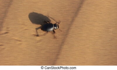 scarab beetle running in desert
