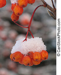 orange berries covered with snow