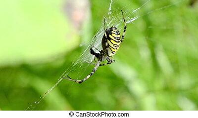 wasp spider web wind - wasp spider argiope bruennichi...