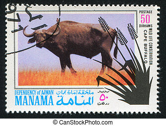Cape Buffalo - MANAMA - CIRCA 1971: stamp printed by Manama,...