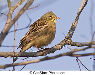 Ortolan Bunting male sitting on a branch - Ortolan Bunting...