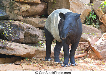 Malayan tapir animal emotions are resting comfortably.