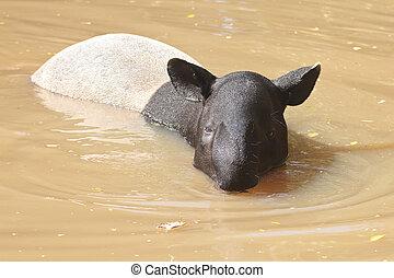 malayan tapir (tapirus indicus) - Malayan tapir swimming...