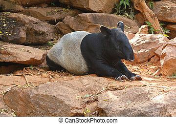 Malayan Tapir animal - Malayan tapir animal emotions are...